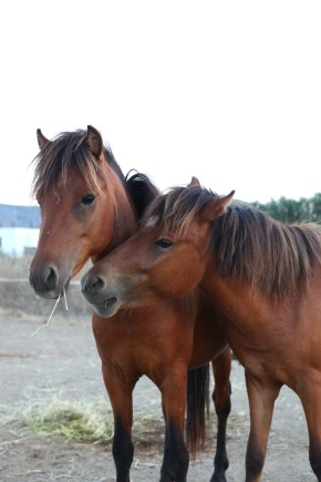 Brotherly love....Appolonus on the left is a stallion and Jasonus on right a gelding. Both are gentle kind souls.