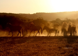 Mares herd on a summer evening 2012