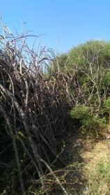 hedges 2